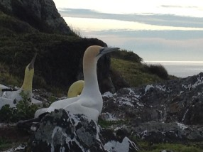 Nigel and the Mana Island concrete gannet. Photo: Friends of Mana Island.