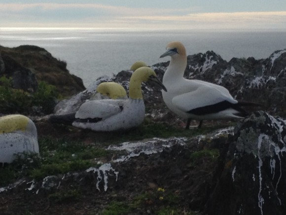 Nigel and the Mana Island concrete gannet, Photo: Friends of Mana Island.