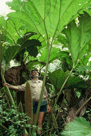 Gunnera (Chilean rhubarb) with someone standing underneath to show height.
