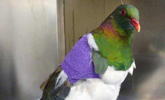 An injured kererū as a result of window strike. Image: Wildbase Hospital.