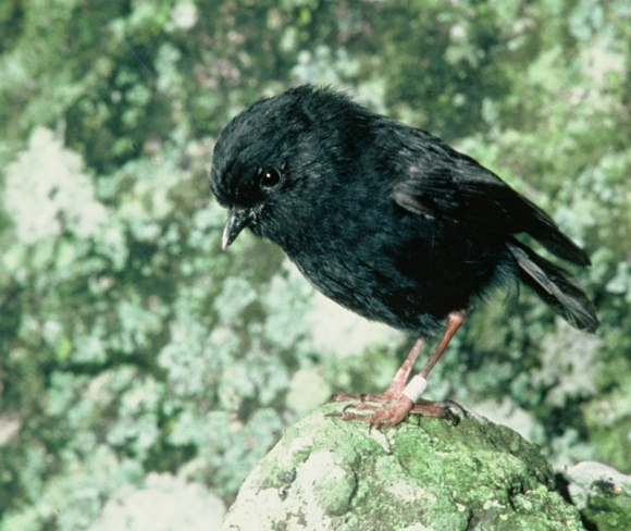 Old Blue, the Chatham Islands black robin that saved her species.