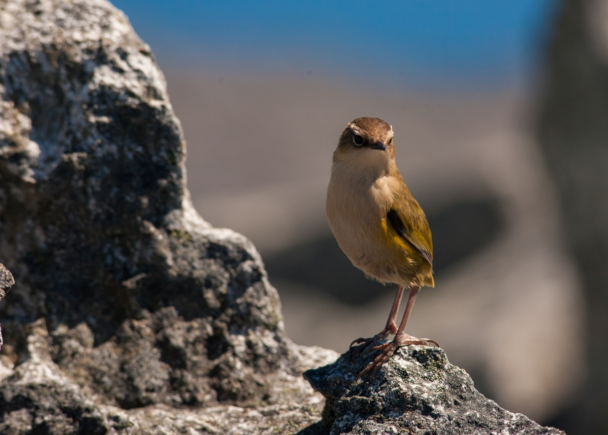 Monitoring rock wren in an alpine world