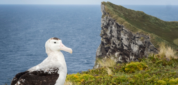 Antipodean Albatross – one of the many species that will benefit from this eradication. Photo: Fin Cox.