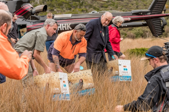 The takahē get ready for release at Gouland Downs. Photo: Danilo Hegg