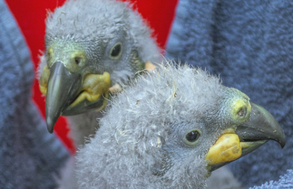 The two new kākā chicks in Te Anau. Photo: Anja Köhler.