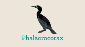 Try saying phalacrocorax