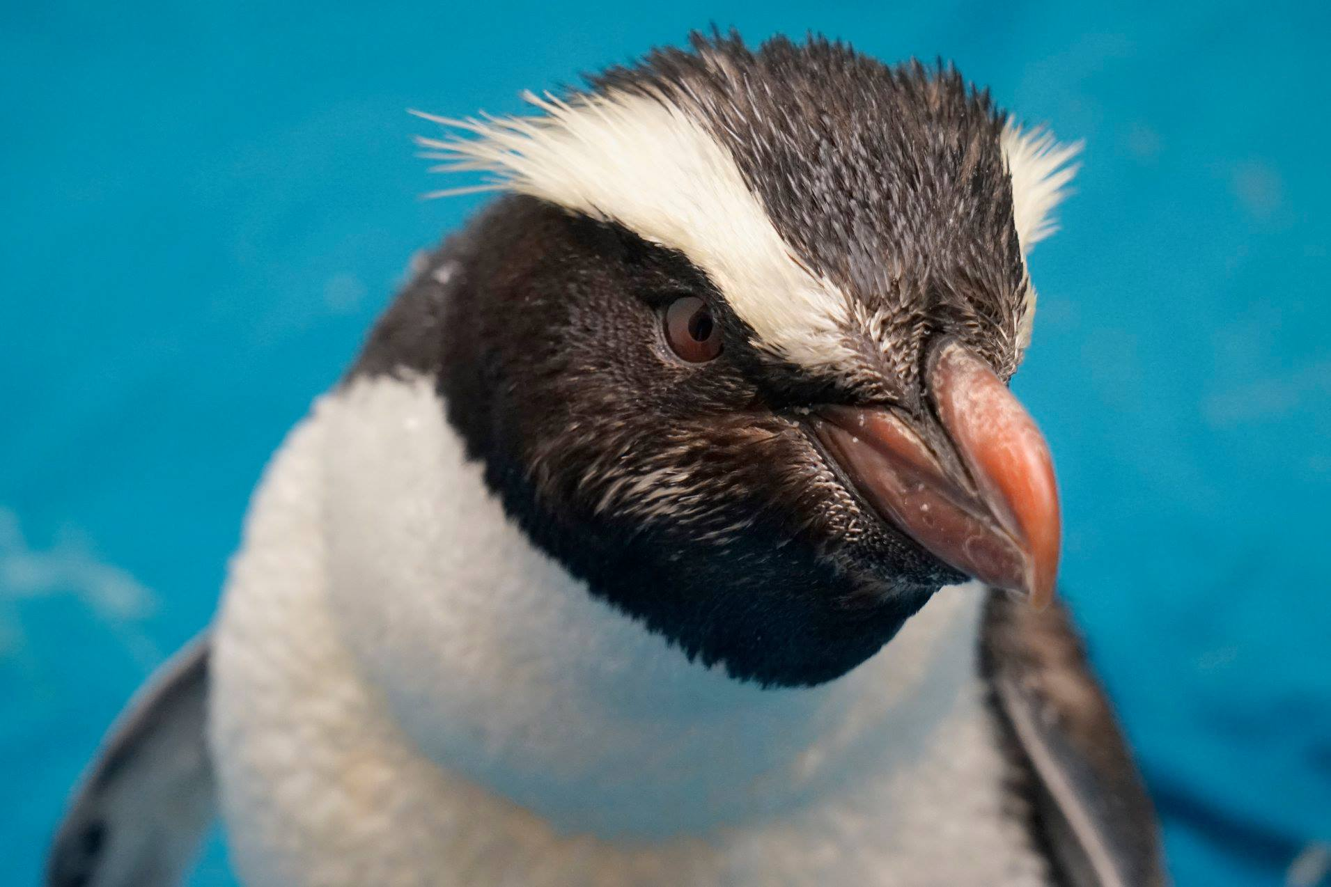 Saying goodbye to a rare penguin