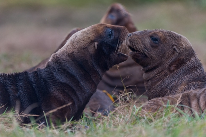Sea lion research on Enderby Island