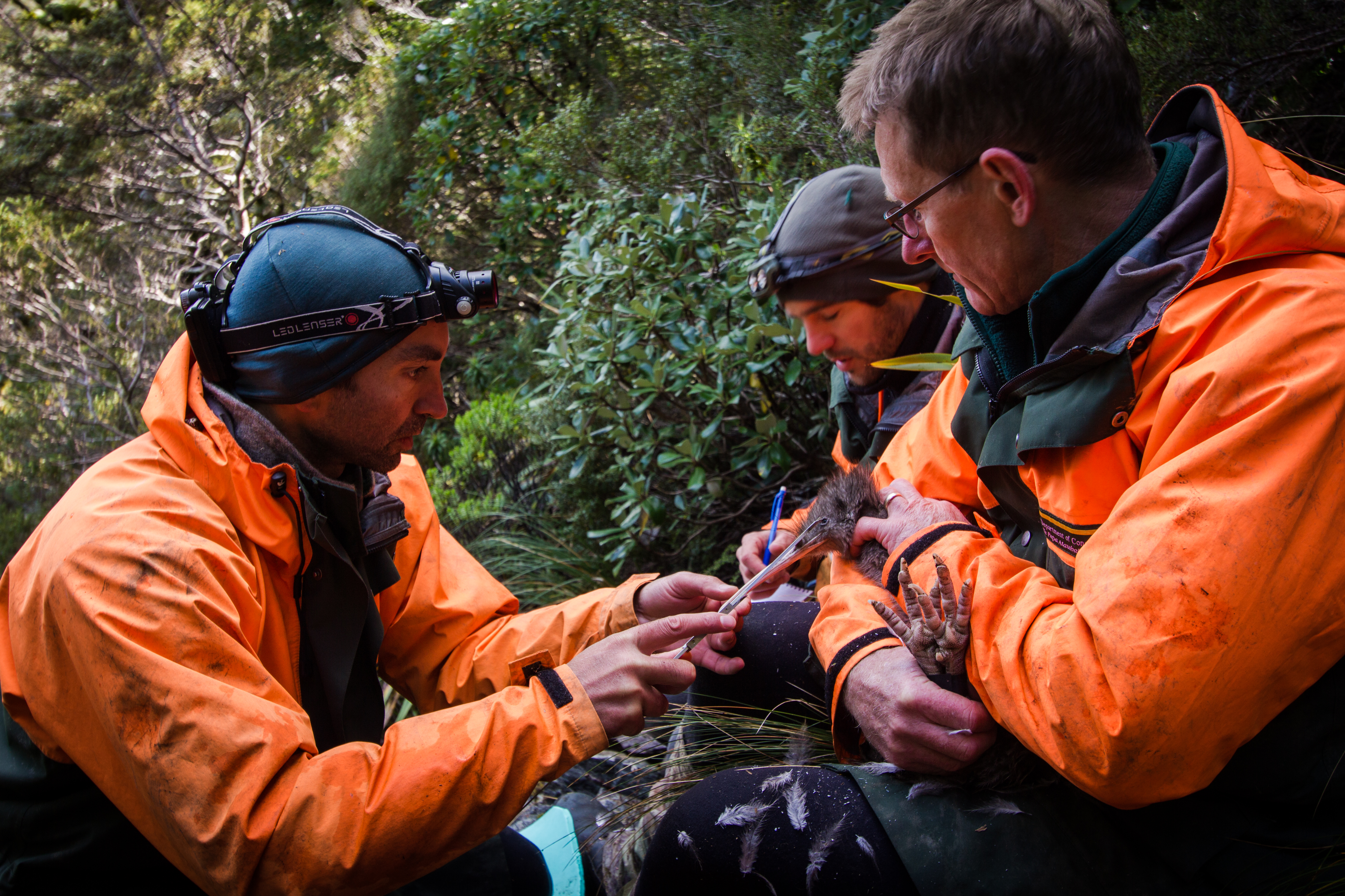 Fiordland Kiwi Diaries: Changing radio transmitters