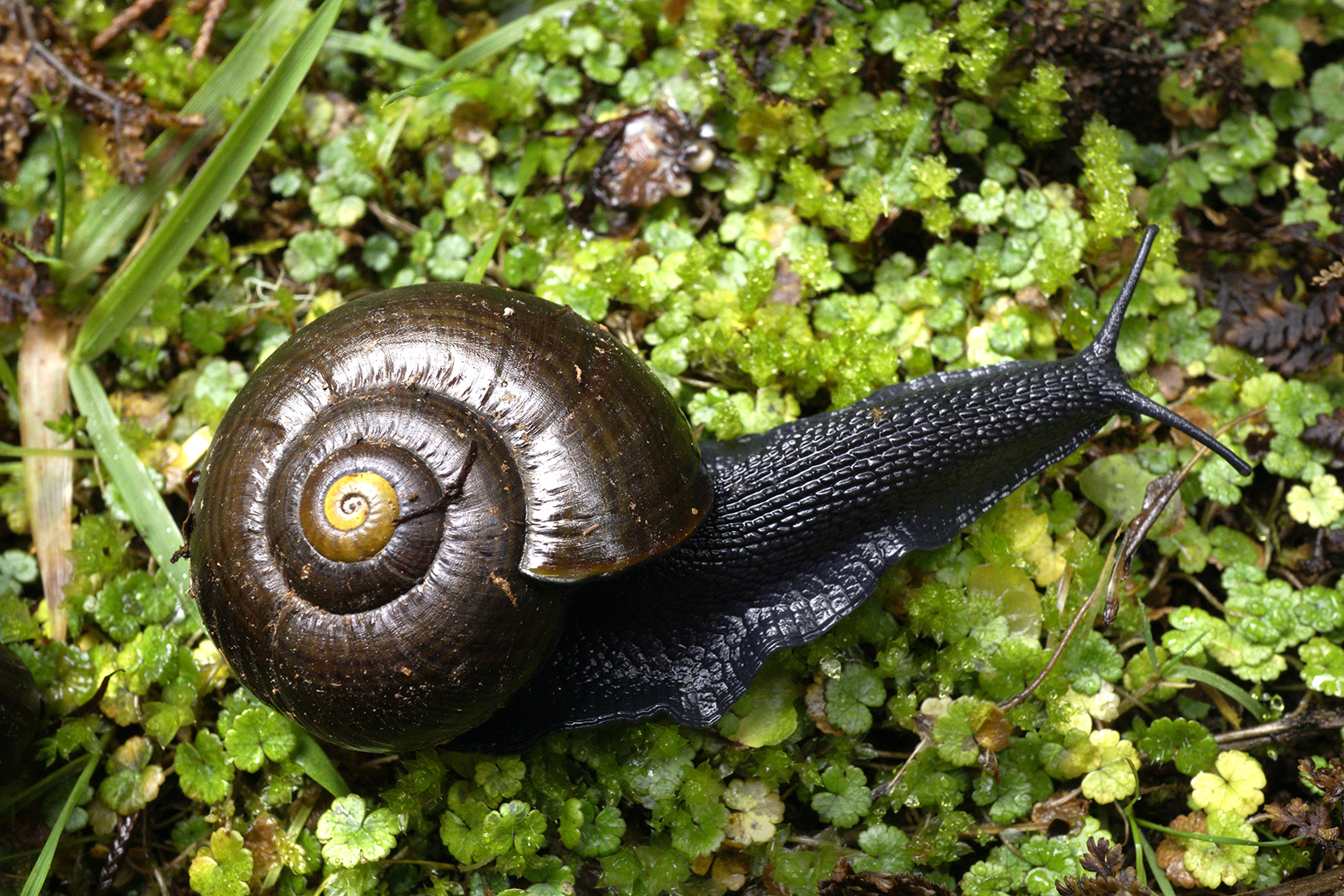 The great Northern Ruahines snail hunt
