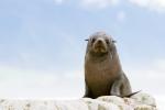 NZ fur seal/kekeno.