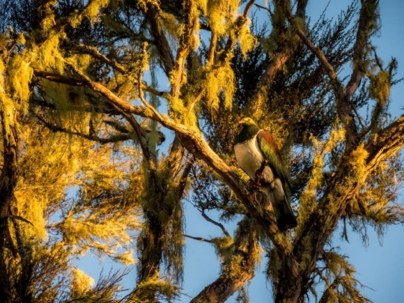 Kereru basking in the evening light. 📷: Kayla Wilde.