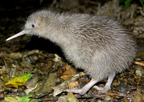 Our iconic kiwi bird. 📷: Ian Gill.