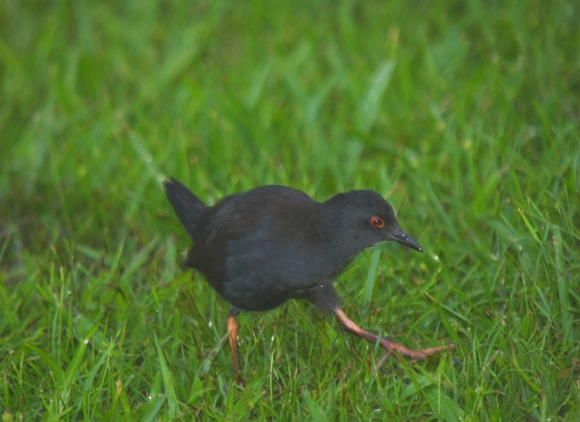 A spotless crake/pūweto. Photo: Gareth Rapley.