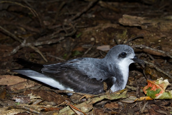 Pycroft's petrel. 📷: James Russell.