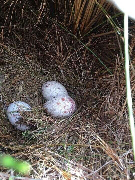 takahe eggs kahurangi