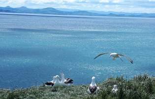 Albatross landing at the head 📷: Jim Watts