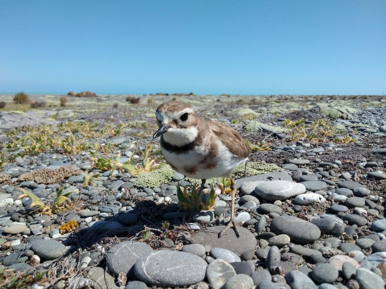 Banded Dotterel Nesting Season – Finding the near unfindable