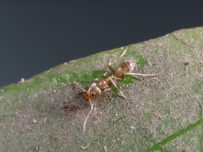 Argentine ants: small things causing big problems