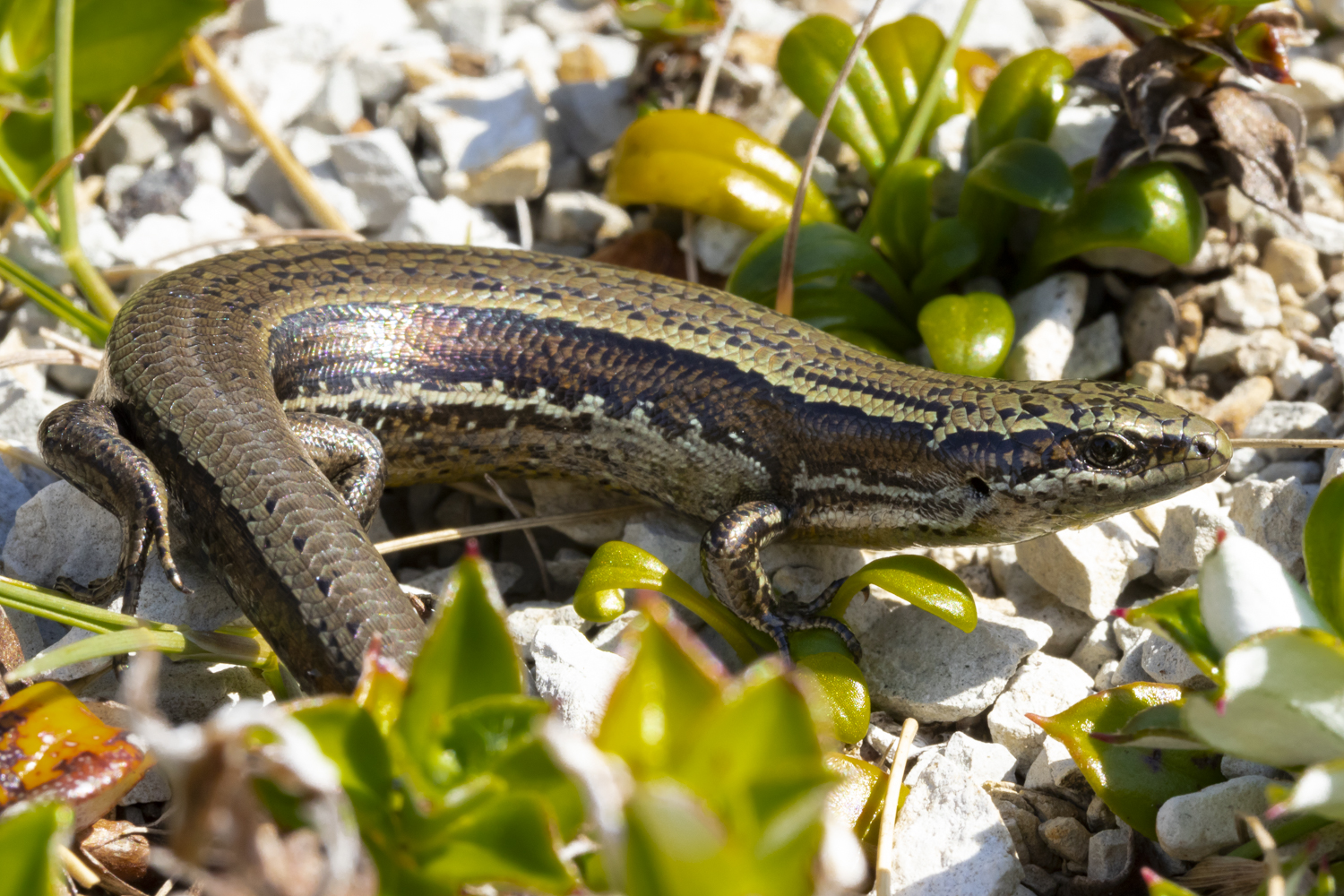 New population of Te Kakahu skink, Fiordland's rarest skink