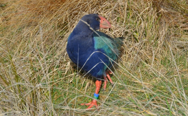 Takahē Awareness Month
